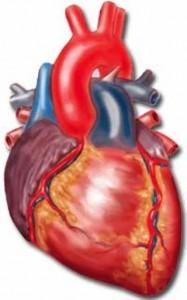 Кратко о работе сердца и аритмии.