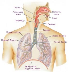 Схема строения и работы дыхательной системы